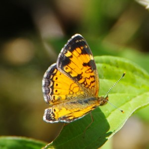 viceroy butterly